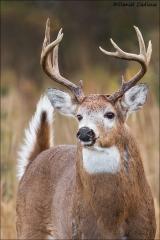Whitetail Deer_9219-17