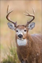 Whitetail Deer_9256-17