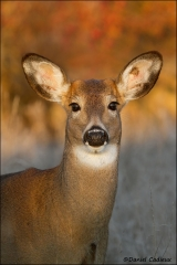 Whitetail_Deer_1074-11