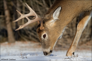 Whitetail_Deer_3054-11
