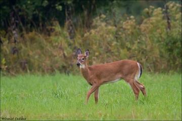 Whitetail_Deer_3831-14