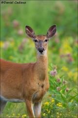 Whitetail_Deer_4021-14