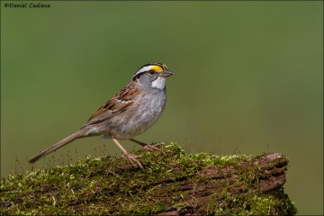 White-throated_Sparrow_2766-14