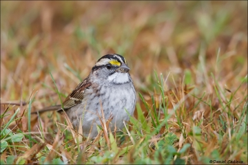White-throated_Sparrow_4615-14