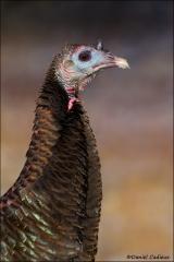 Wild_Turkey_3173-11