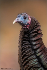 Wild_Turkey_3490-15