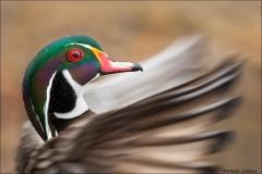 Wood Duck_3524-18