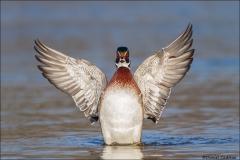 Wood_Duck_1130-15