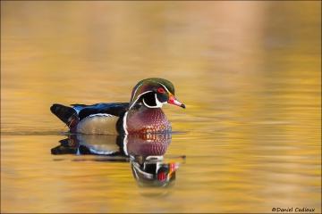 Wood_Duck_1658-15