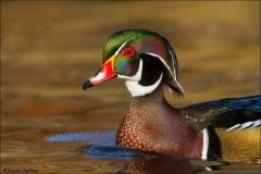 Wood_Duck_1783-15