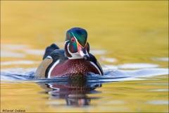 Wood_Duck_5025-14