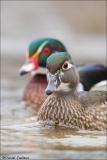 Wood Duck_3975-18