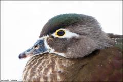Wood_Duck_7652-15