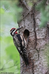 Yellow-bellied_Sapsucker_4108-17