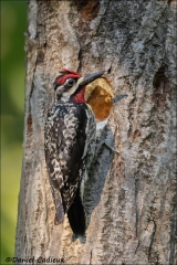Yellow-bellied_Sapsucker_8056-16
