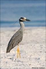 Yellow-crowned_Night-heron_2285-08