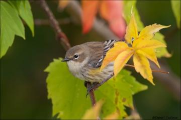 Yellow-rumped_Warbler_6709-15