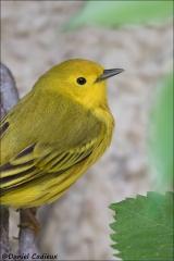 Yellow_Warbler_1182-17