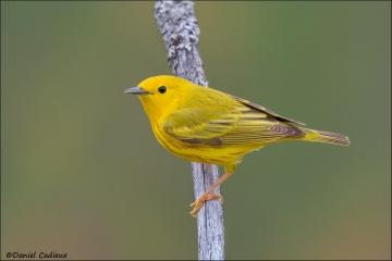 Yellow_Warbler_6335-13