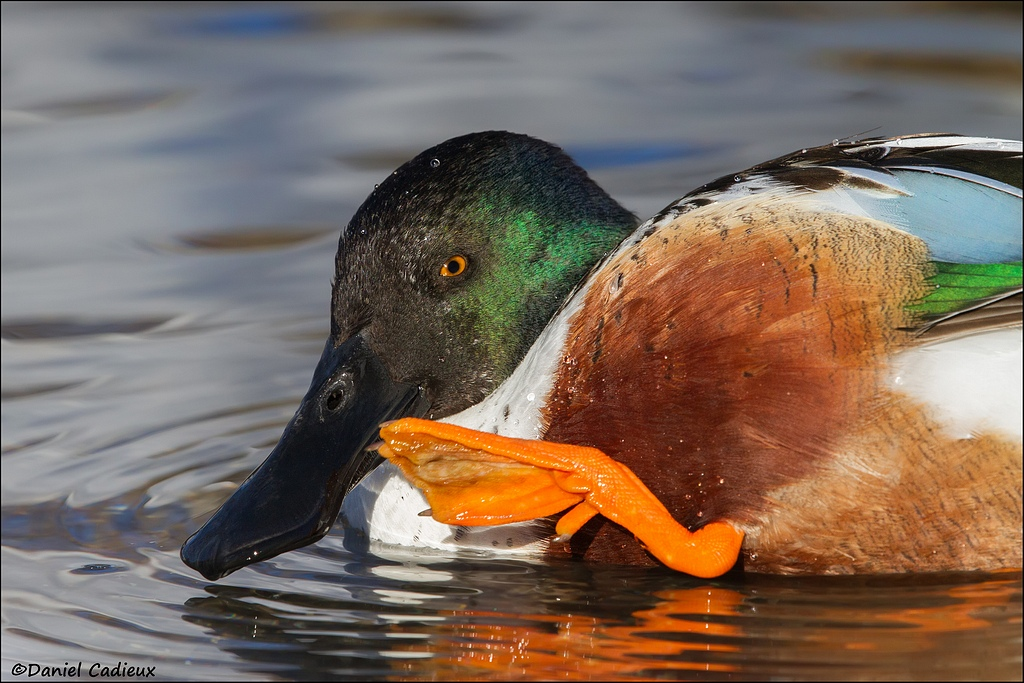 Northern Shoveler, male, breeding plumage
