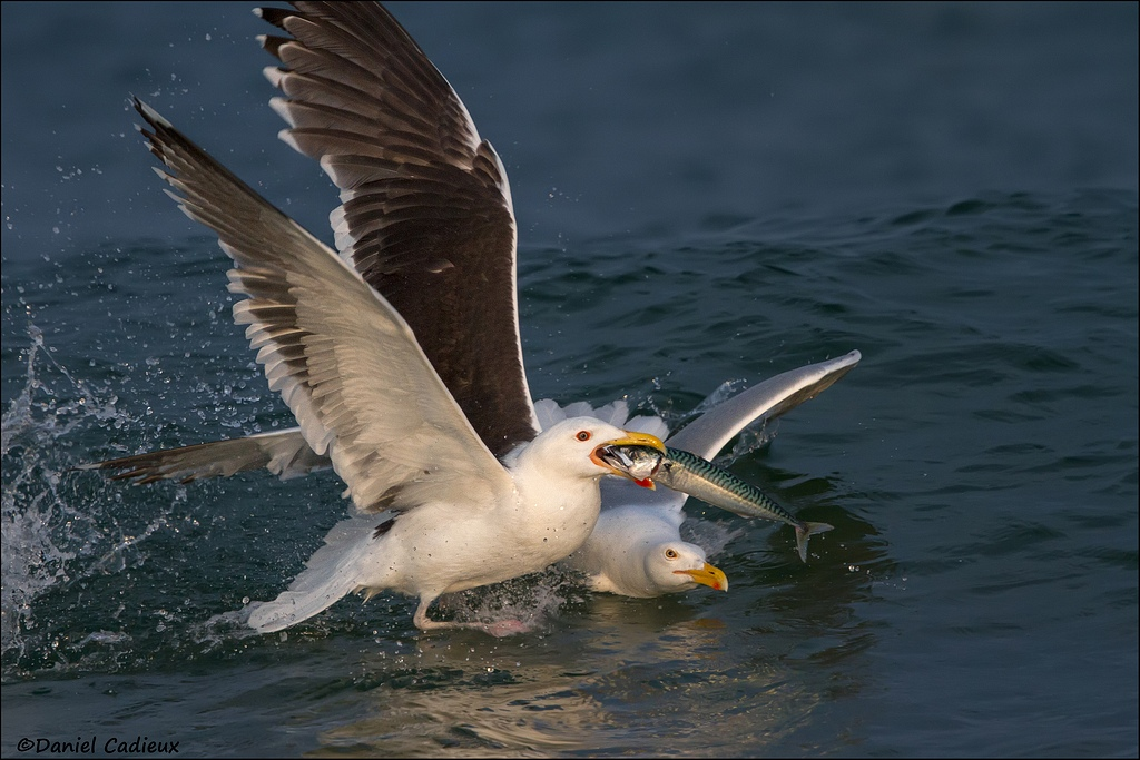 Great Black-backed and Herring Gull
