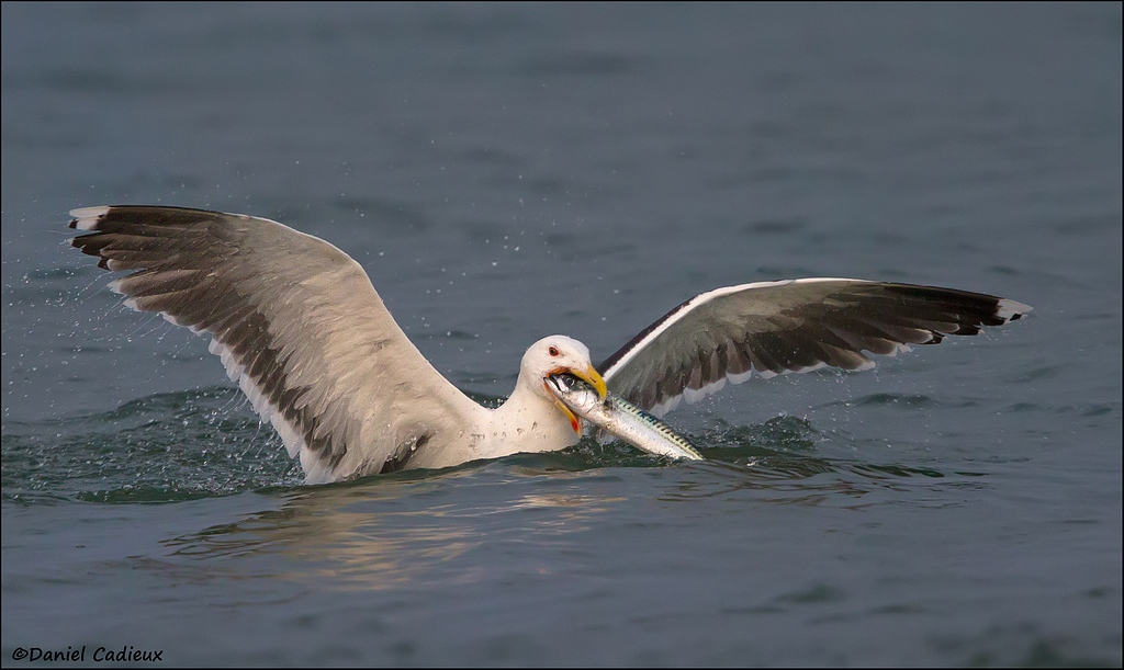 Great Black-backed Gull eating mackerel