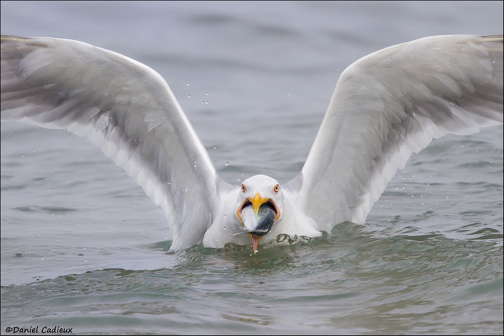 Herring Gull eating mackerel