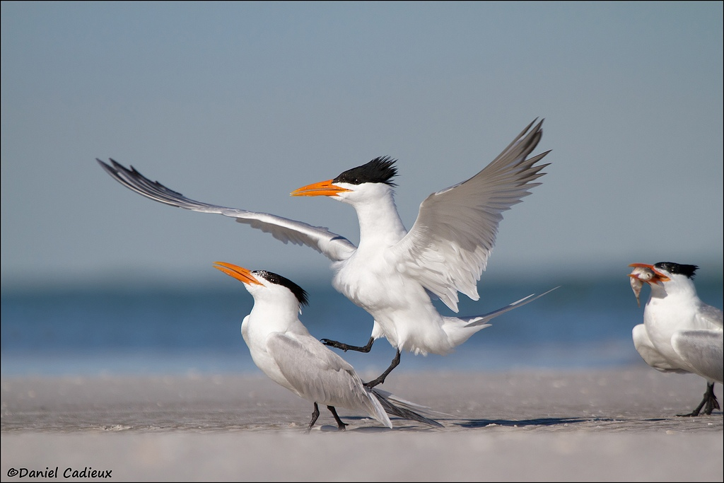 tn_Royal-Tern_4760-1.jpg