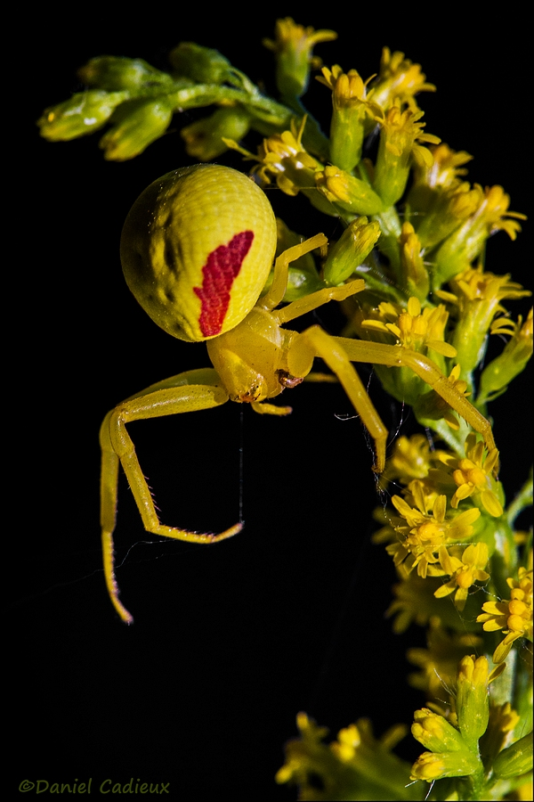 Crab Spider on Goldenrod