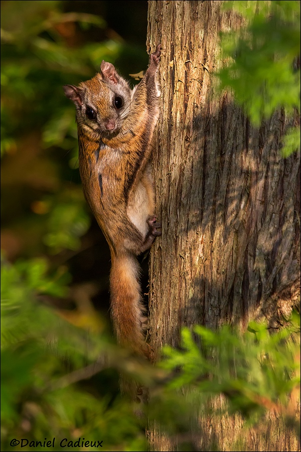 flying squirrel essay Flying squirrel is a type of squirrel best known for its ability to fly there are about 50 different flying squirrels use their thick paws as cushion for landing when they land on the tree, they climb.
