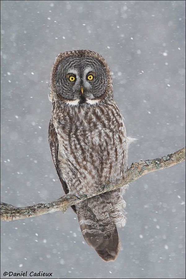 Great-gray Owl