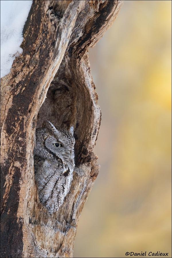 tn_Eastern-Screech-Owl_3232-1.jpg