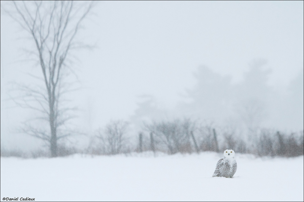 tn_Snowy-Owl_5115-1.jpg