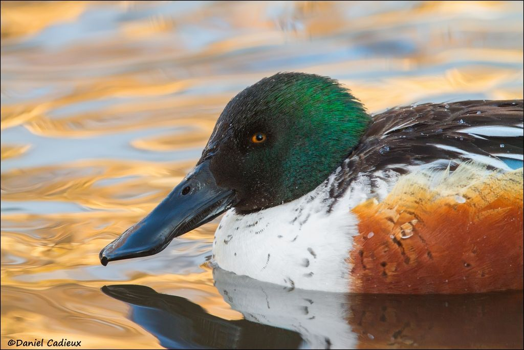 tn_Northern Shoveler_3259-1.jpg