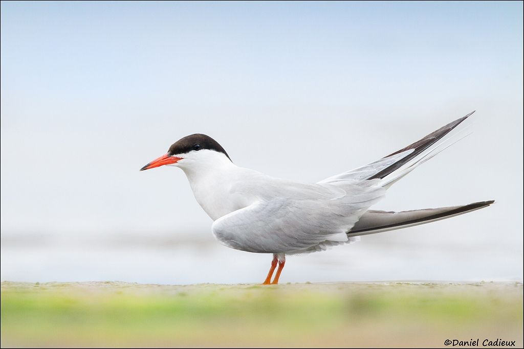 tn_Common Tern_6708-1.jpg