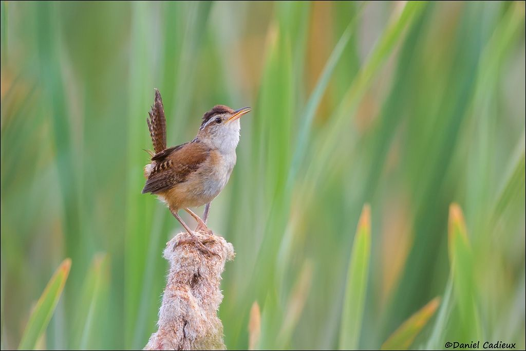 tn_Marsh Wren_0961-1.jpg