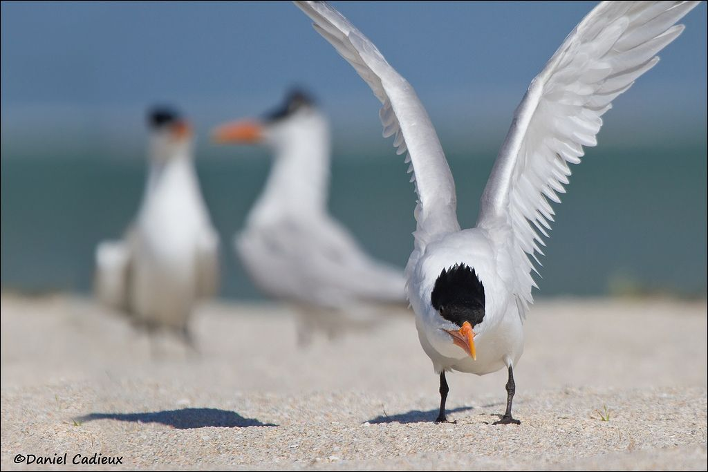 tn_Royal Tern_2734-1.jpg