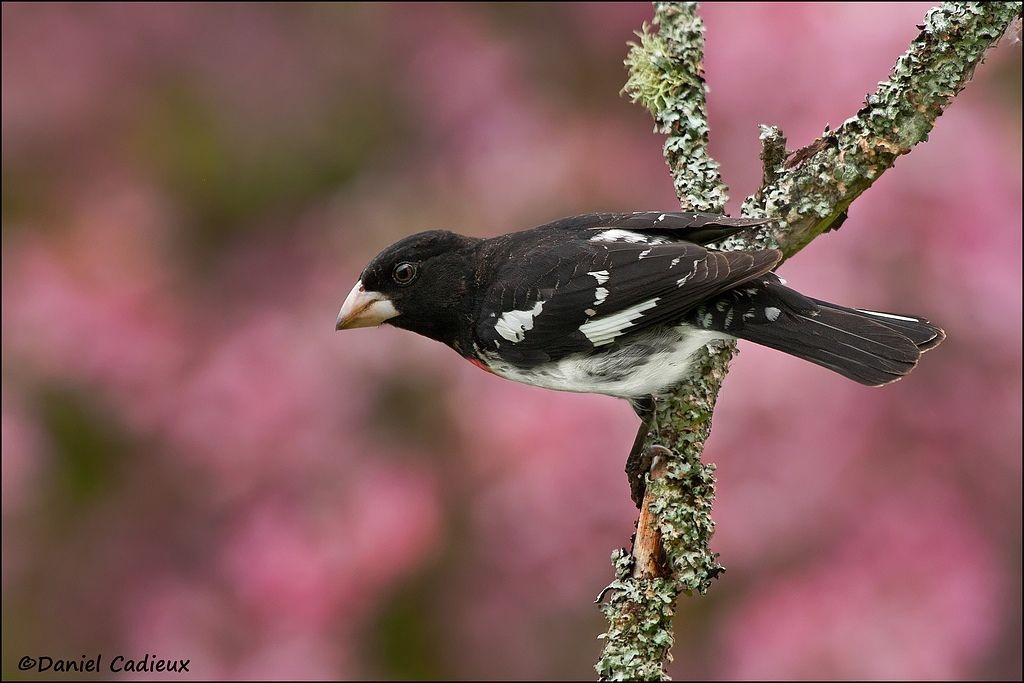 tn_Rose-breasted Grosbeak_7869-1.jpg