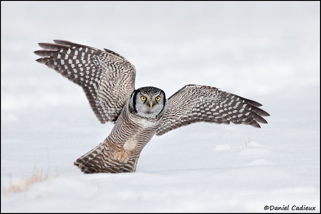 tn_Northern Hawk-Owl_3580-1.jpg