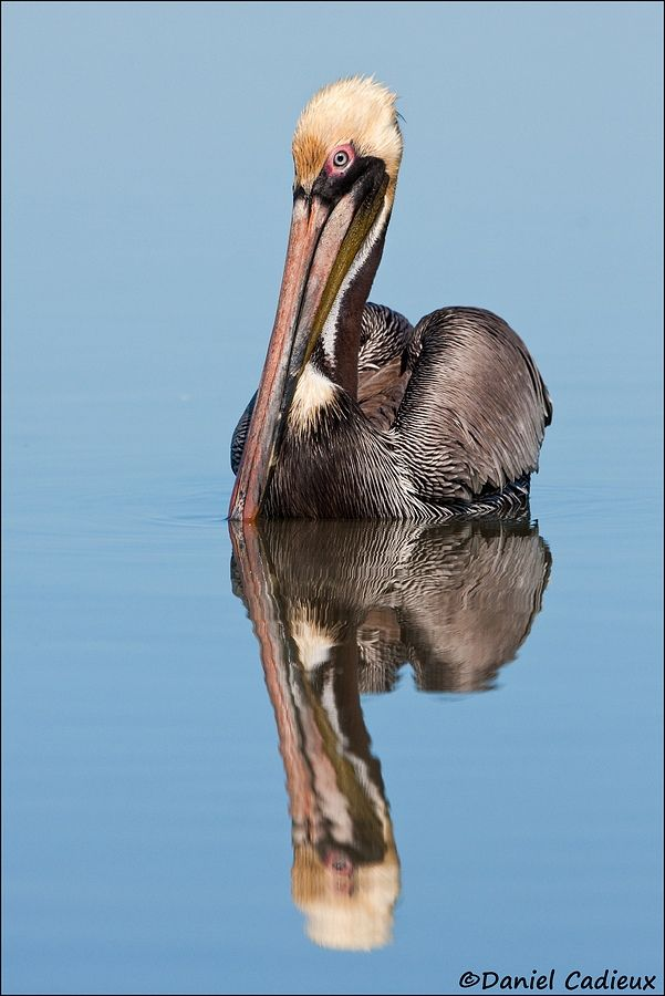 tn_Brown Pelican_4535-01.jpg