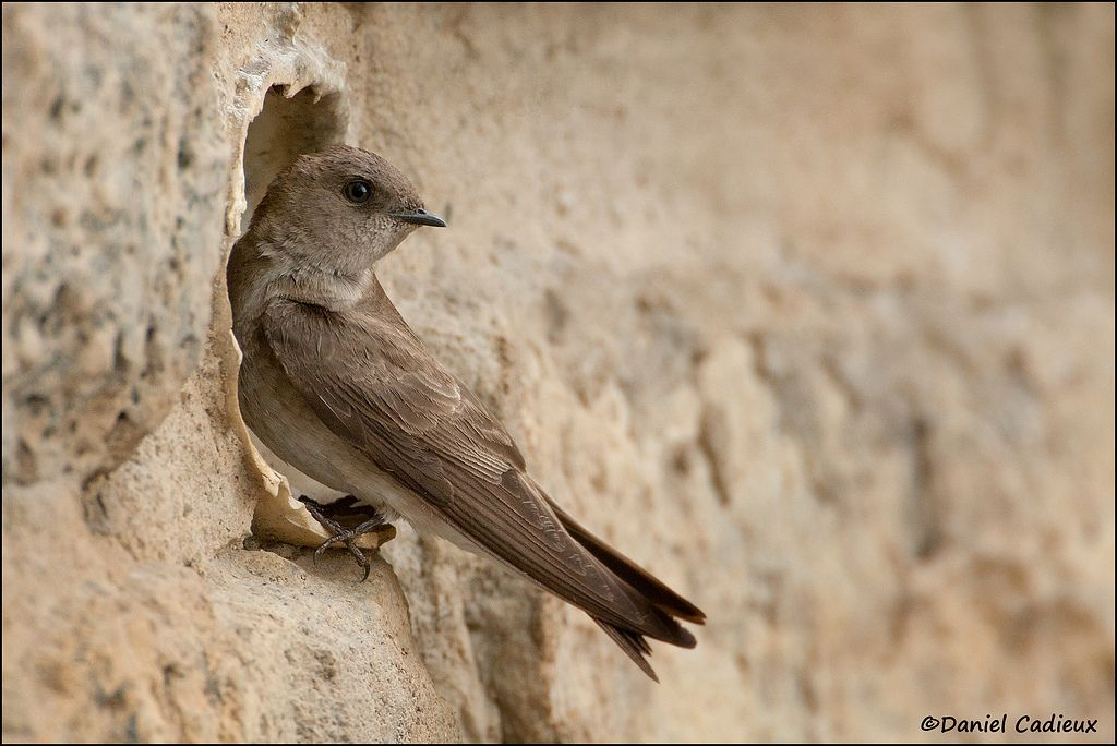 tn_Northern Rough-winged Swallow_7933-1.jpg