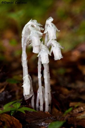 tn_Indian Pipe_6900-01.jpg