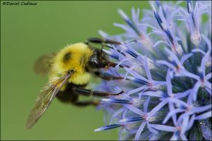 Bumblebee and Globe Thistle_3092-11