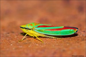 Candy-striped Leafhopper_4484-15