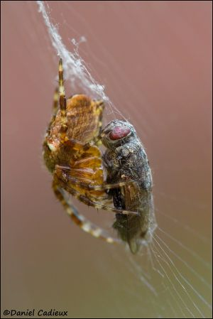 Orb Weaver and Fly_4359-11