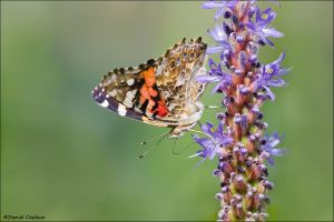 Painted Lady_3068-12