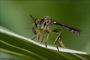 Robber Fly_5634-14