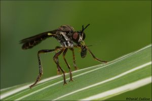 Robber Fly_5641-14