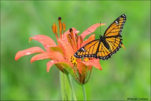 Viceroy on Wood Lily_7311-16