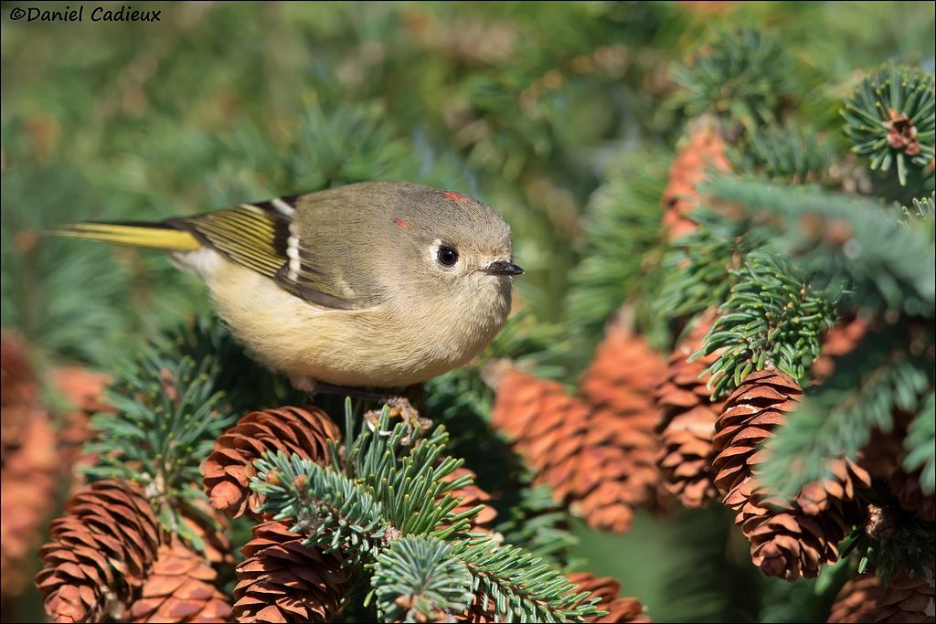 tn_Ruby-crowned Kinglet_6816-1.jpg